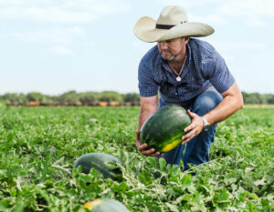 Kids Choice Watermelons Farmers caring for his watermelons