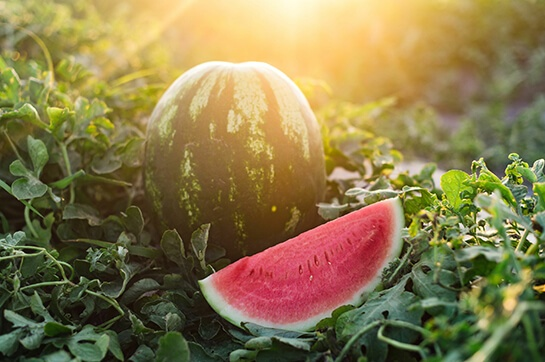 Nutrition Kids Choice Watermelons in the field