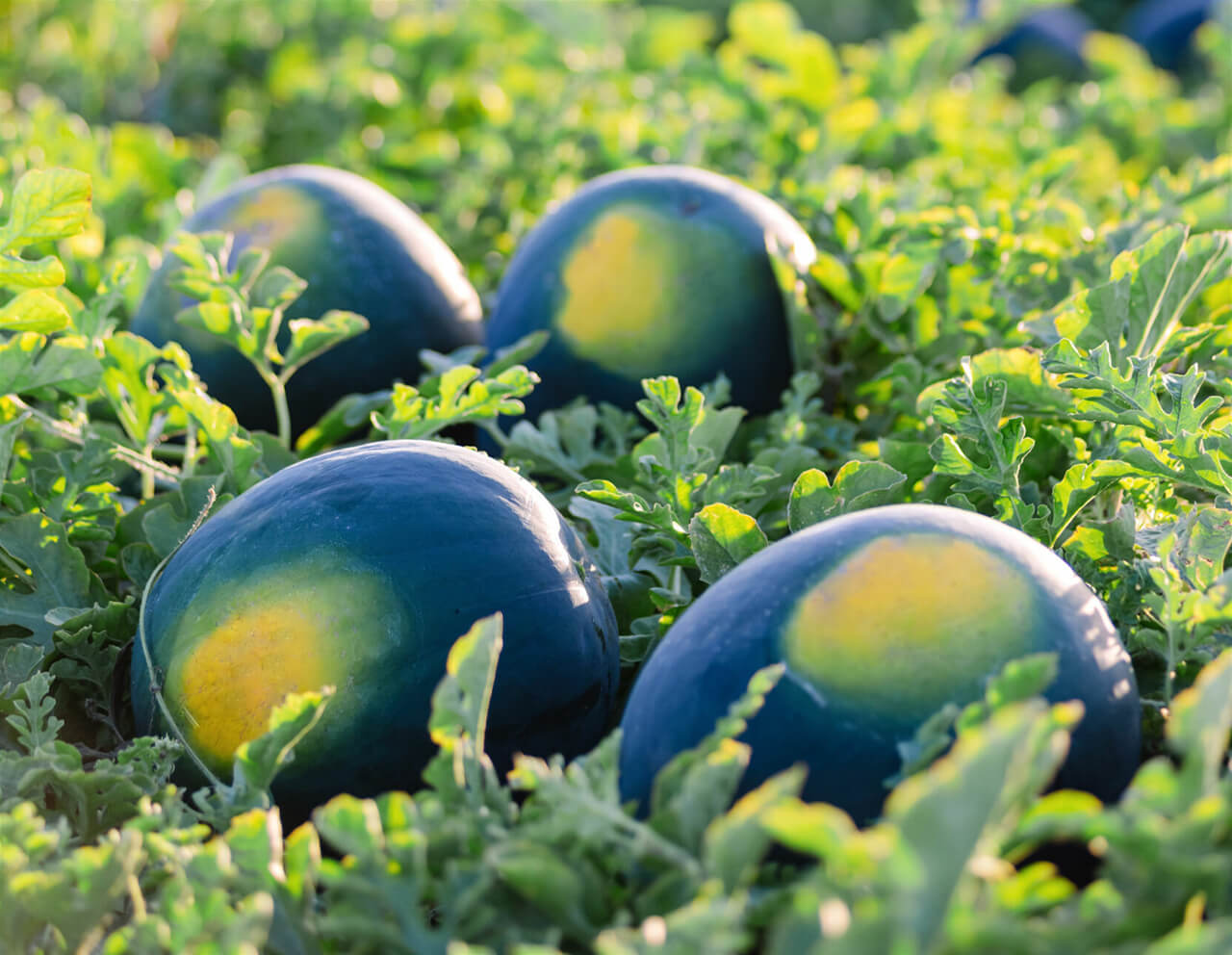 Kids Choice Watermelons Gallery fresh in the field
