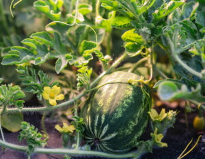 Kids Choice Watermelons Gallery watermelon on the vine