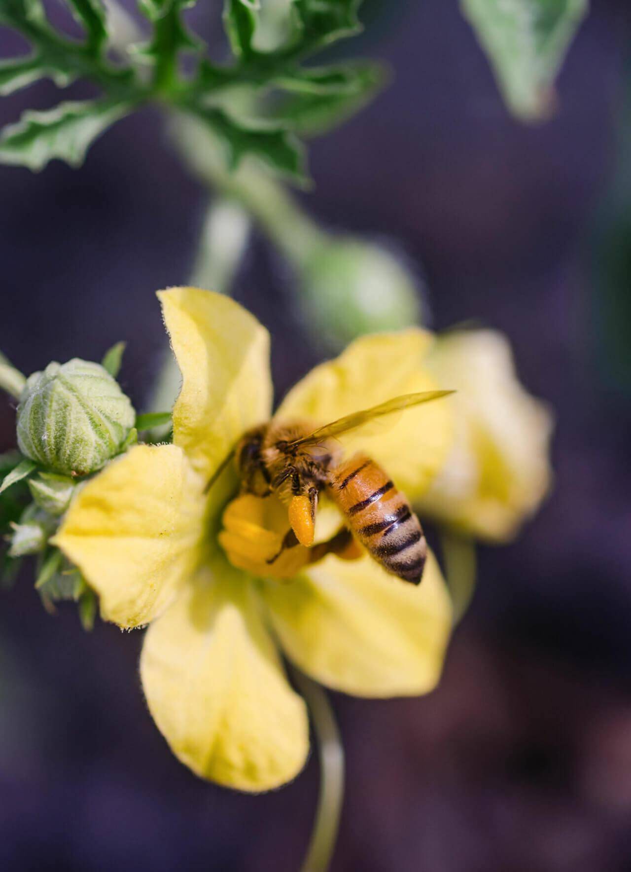 Kid's Choice Watermelon bee on flower